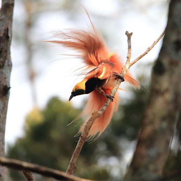 Cenderawasih Si Burung Surga Dalam Bahaya Historia