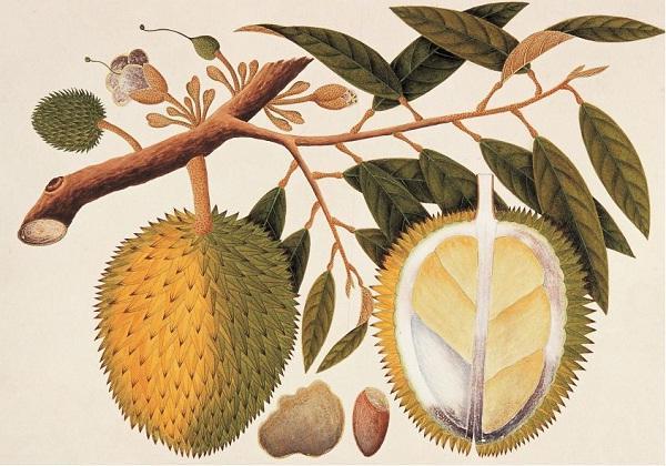 Riwayat Durian di Nusantara